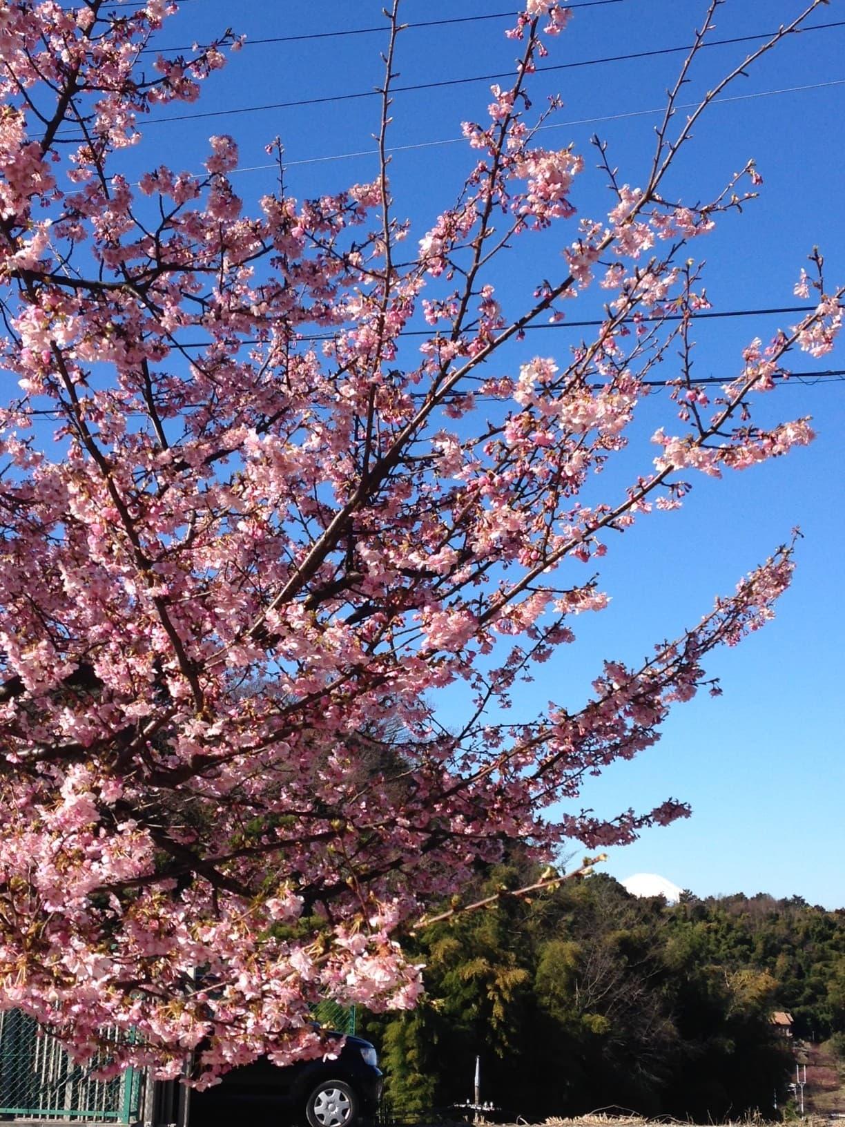 河津桜の奥には真っ白な雪帽子を被った富士山も見える絶景ポイントです。