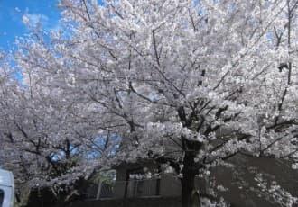 いずみ芙蓉苑の敷地内の桜は満開を迎え、多くのご利用者に「お花見」を楽しんでいただきました。ご利用者の笑顔が非常に印象的でした。