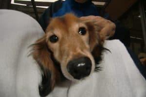 11月の温かい日、芙蓉苑に可愛いお客さんがボランティアとして遊びに来てくれました。この子は芙蓉苑介護スタッフの愛犬『アポロくん』。