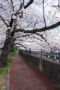 「桜の名所で有名な大岡川です。約3.5㎞のプロムナード沿いに桜並木が続きます。」