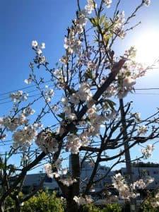 「リバーサイドにも桜があるのは皆さんご存知でしたか? 1階地域交流室のテラスに3本桜の木があります。 まだまだ未熟ですが、開所から7年の歳月を経て、こまで開花するようになりました。 私達もこの桜と共に成長して参ります。ぜひ来年の開花もお楽しみに!!」