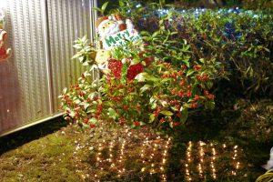 いずみ芙蓉苑の中庭にある、「セイヨウヒイラギ」をクリスマスイルミネーションでライトアップさせていただきました!!