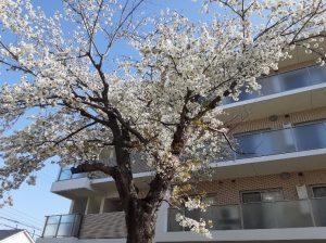コロナ禍が落ち着いたら、この想い出のつまった桜の木のもとで、また皆さまと一緒に満開の笑顔でお花見をやりましょう!