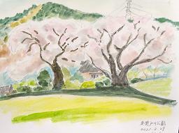 毎月、日野サザンポートでは『俳句サークル』を実施しております。 俳句の講師としてご指導と講評をいただいております(現在はコロナ禍の為、リモート開催)地域ボランティアの先生より、とても素敵なプレゼント、桜の水彩画をいただきました。