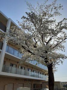 日野サザンポート サブエントランス付近には、かなりの樹齢となる『桜の木』があります。 この桜の木は、当施設が建設される以前、国による開発地の整地解体事業の中で、桜の木については、古木のため倒木の可能性ありと判断され、伐採される予定でした。 しかし、当法人による開設準備の地域住民説明会を開催する中、地域住民の皆さまから『この桜の木は、昔から花見をしたり、子どもたちの成長を見守ってきてくれた大切な思い出の木』であることを教わりました。 直ぐに当法人より国へ伐採中止の要望書を提出、桜の木を残す形で建設は進められ、現在に至っております。