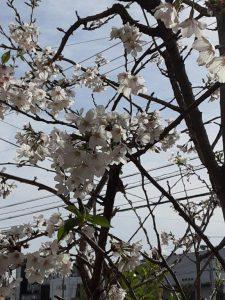 1階テラスにある開所時に植えられた桜です。9年の歳月を経てここまできれいに咲きました。