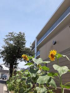 今年も日野サザンポートの花壇に『ひまわり』が元気に咲き始めました。 今年は地域ボランティアの皆さまが種から大切に育てながら、定期的な雑草取りまで対応してくださり本当に有難く感謝しております。 これからも日野サザンポートは、地域の皆さまとのご縁を大切にひまわりのように元気に真っ直ぐ成長・向上してまいります。